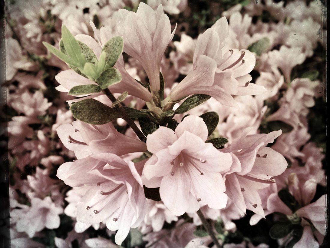 Overcast blooms…